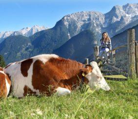 koeien op de almenwelt